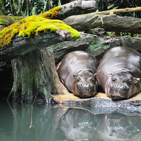 sleep tight buddy by Andi Heryono - Animals Other Mammals ( #reflection, #hippo,  )