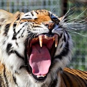 tiger82 copy.jpg