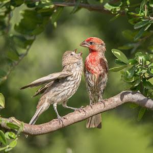 House Finches feeding 448A2768.jpg