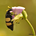 CMR Bean Beetle