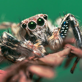 4eyes by Asher Lwin - Abstract Macro ( nature, green, jumping spider, spider, close up )