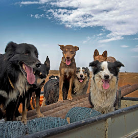 Faces by Suzanne McCowen - Animals - Dogs Portraits ( #kelpie, #working dogs, #happy, #outbackqueensland, #bordercollie,  )