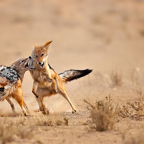 The Bite by Bridgena Barnard - Animals Other Mammals ( jackal fights,  )