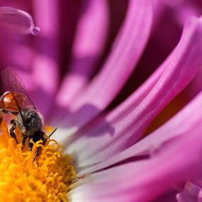 Busy Bee by Biraj Dutta - Nature Up Close Flowers - 2011-2013 ( dalia, purple, sucking nector, bee, nector, yello, flower, purple flower )