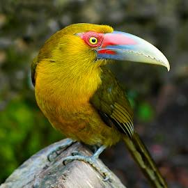 Saffron Toucanet III by Itamar Campos - Animals Birds ( saffron toucanet, araçari banana, trilha dos tucanos, atlantic forest, pteroglossus baillon )