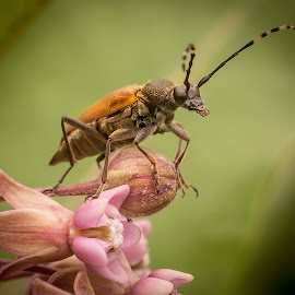 Bug in Milkweed by Heather Hubbard - Animals Insects & Spiders ( up close, macro, nature, pollinator, summer, bug, insect, flower,  )