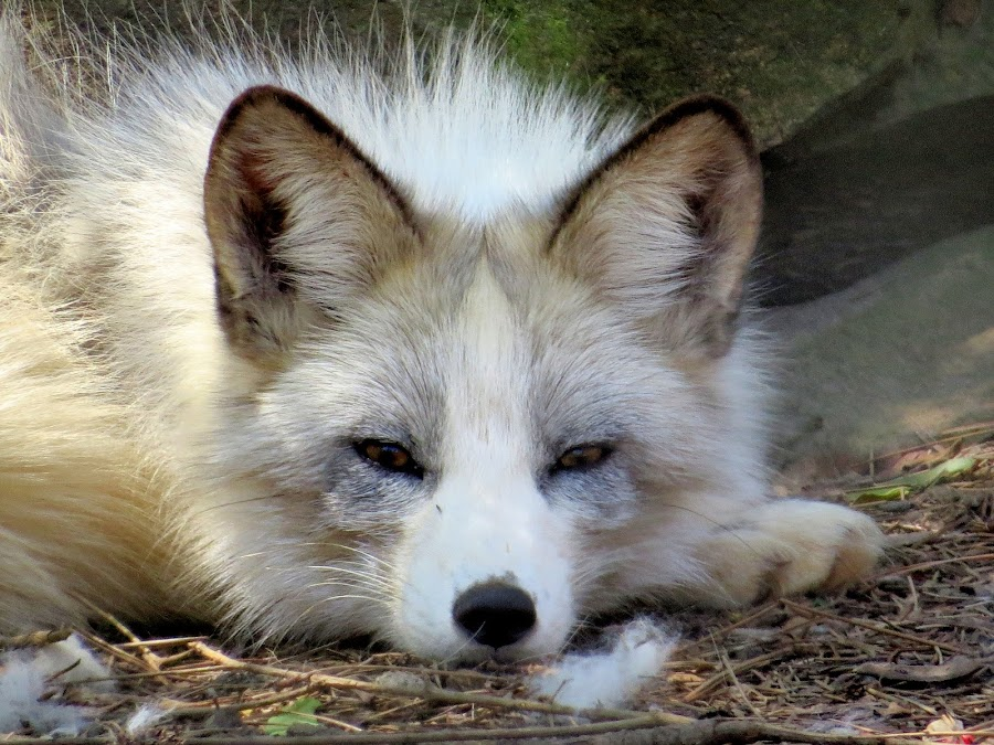 artic fox by Mike Dinkens - Animals Other