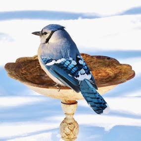 A warm drink to start the day. by Carolyn Kernan - Animals Birds (  )
