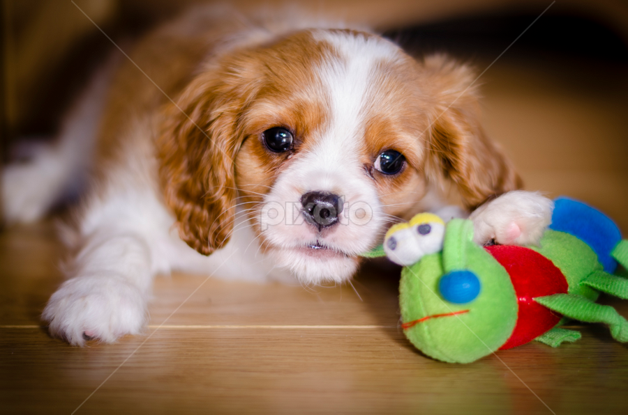 Every O'Clock Is Play O'Clock! by Mike Woodford - Animals - Dogs Puppies ( cuddly, adorable, puppy, cute, young, puppydog )