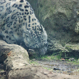 Snow Leopard by Victoria Fenton - Animals Lions, Tigers & Big Cats ( big cat, zoo, drinking, white and black, snow leopard )
