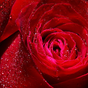 Petals of a rose by Tan  Kian Yong - Nature Up Close Flowers - 2011-2013 ( water, rose, dew, flower, petal )