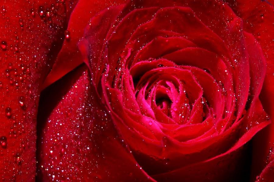 Petals of a rose by Tan  Kian Yong - Nature Up Close Flowers - 2011-2013 ( water, rose, dew, flower, petal )