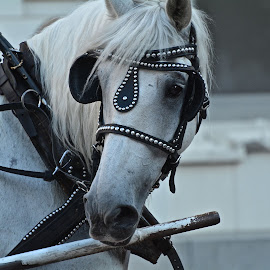 Beautiful horse by Victoria Eversole - Animals Horses ( carriage, texas, horse, city tours )