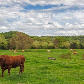 Bull by Michael Buffington - Landscapes Prairies, Meadows & Fields ( clouds, green, bull, cattle, rural, cows, country, field, pasture, red, sky, nature, blue, meadow, trees, natural )