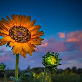 Sunflower Sunset by Brandon Montrone - Flowers Single Flower ( clouds, macro, sky, nature, sunflowers, sunset, sunflower, close up flower, flowers, close up, flower )