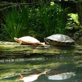 Sunbathing Turtles by Regina Montross - Animals Amphibians ( louisiana, turtles, amphibians, log, sunbathing )