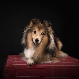 Sheltie love by 'Monique Smit - Animals - Dogs Portraits ( breed, dog, sheltie, animal )