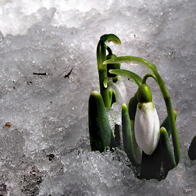 They Thought it was Spring! by Dorothy Koval - Nature Up Close Flowers - 2011-2013 ( pwcfoulweather-dq, spring flowers, vermont weather, snow, snowdrops, frozen flowers )