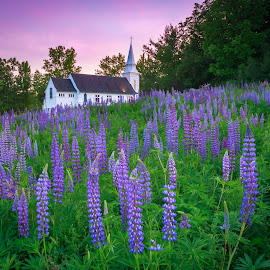 Lupines of Sugar Hill by David Long - Landscapes Travel ( sugar hill, lupines, new hampshire )