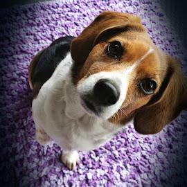 Beagle by Marta Raczkowska-Radkiewicz - Instagram & Mobile Android (  )