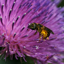 Unknown Mining Bee