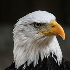 Wotan by Garry Chisholm - Animals Birds ( bird, nature, bald eagle, prey, raptor )