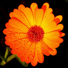 Common marigold by Gérard CHATENET - Flowers Single Flower