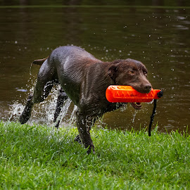 Snoop by Jeannie Meyer - Animals - Dogs Playing ( labrador retriever, duck dog, pet, snoop, maskew, labrador, dog, lab,  )