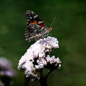 Butterfly and flower by Cristobal Garciaferro Rubio - Animals Insects & Spiders ( garden fly, butterfly, colors, wongs, bokeh, flower )