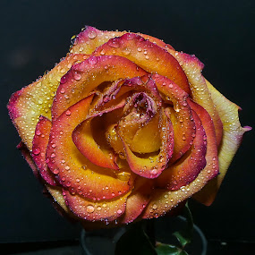 Rainbow Rose 2 by Dave Walters - Flowers Single Flower ( rose, macro zoom, colors, flowers, lumix fz2500,  )