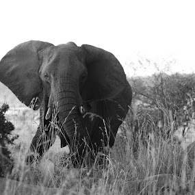 Elephant by VAM Photography - Animals Other Mammals ( nature, serengeti, elephant, tanzania, mammal, animal,  )