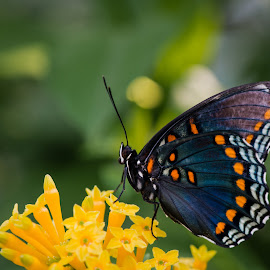 Blue and orange butterfly by Brian Butters - Animals Insects & Spiders ( pollinating, pollen, butterflies, colors, wings of fancy, flowers, brookside gardens, exhibit )