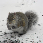 eastern grey/gray squirrel