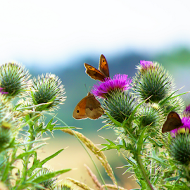 Summer day by Dina Silantyeva - Nature Up Close Other Natural Objects ( field, butterfly, thistle, summer, day )