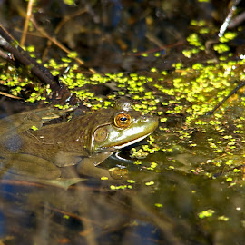 Down by the Pond by Allen Martin - Animals Amphibians ( water, nature, frog, bullfrog, green, bull frog, wildlife, pob )
