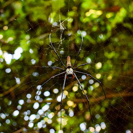 Golden Orb by Anita South - Nature Up Close Webs ( #golden orb, #spider,  )