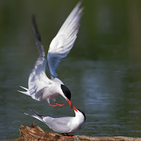 Terns in love by Rachel Bilodeau - Animals Birds