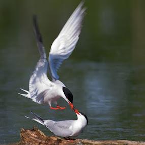Terns in love by Rachel Bilodeau - Animals Birds
