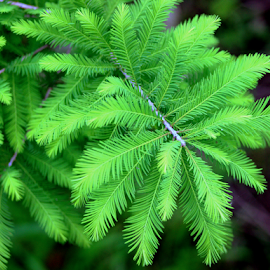 Bald Cypress Fronds by Elfie Back - Nature Up Close Leaves & Grasses (  )