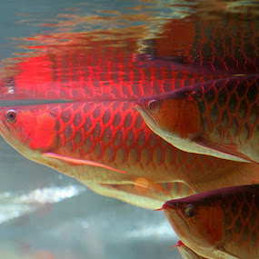 The Amazing of Red Arwana by Ferry's Lens - Animals Fish