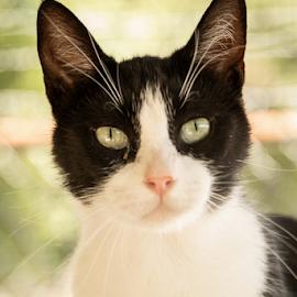 The Kitty Stare by Myra Brizendine Wilson - Animals - Cats Portraits ( feline, black and white cat, cat, pet )