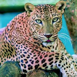 Watchful eyes of Leopard by Kusal Gautamadasa - Animals Lions, Tigers & Big Cats ( watchful eyes of leopard,  )