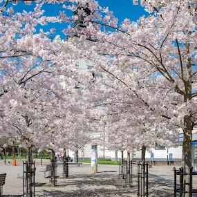 Church behind tree blossom by Tony Mortyr - Flowers Tree Blossoms ( tree blossom )