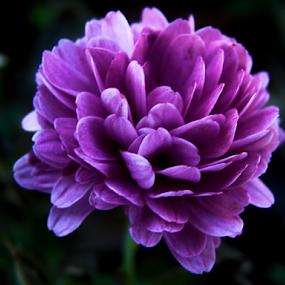 Purple Pride by Teresa Wooles - Flowers Single Flower ( purple, peony, flower,  )