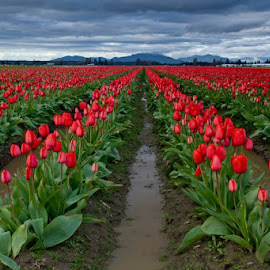 Red Tulip Field by Gabi Fulcher - Landscapes Prairies, Meadows & Fields ( skagit, tulip, festival, valley )