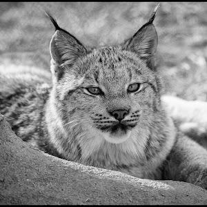 Lynx-11.jpg