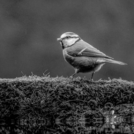 Tit by Garry Chisholm - Black & White Animals ( blue tit, nature, bird, wildlife, garry chisholm )