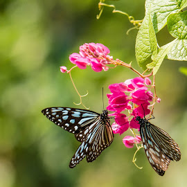 Butterflies by Annette Reddy-Keating - Animals Insects & Spiders (  )