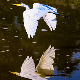 Reflect by Justin Strang - Animals Birds ( water, animals, egrets, birds )