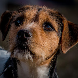 Splash by Erin Schwartzkopf - Animals - Dogs Portraits ( jrtca, jack russell, show dog, jack russell terrier, terrier )